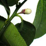 Pluie de petales de fleurs d'oranger-487